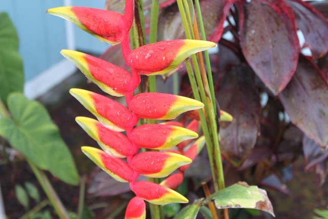 "<p style=""text-align:center;"">Ginger heliconia</p>"